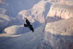 在大峡谷的神鹰 免版税图库摄影