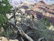 在大峡谷的结构树 库存照片