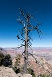 在大峡谷的死的树 免版税库存图片