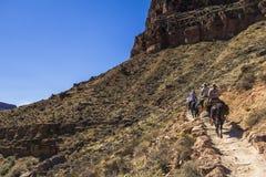 在大峡谷足迹的Mulis 免版税库存照片