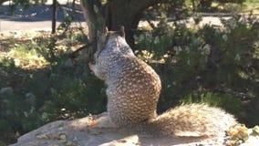 在大峡谷附近的灰鼠 库存图片