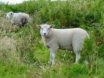 在大平底船小岛的绵羊  免版税库存图片