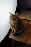 在大摄影演播室光前面的母猫 免版税库存图片