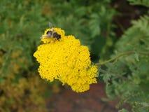 在大束的昆虫黄色花 免版税库存照片