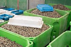 在大条板箱的新鲜的鸟蛤在鱼市上 免版税库存照片