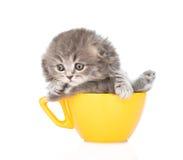 在大杯子的灰色苏格兰小猫 背景查出的白色 图库摄影