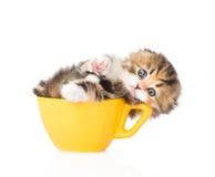 在大杯子的滑稽的小猫 背景查出的白色 库存图片