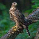 在大树干栖息的未成熟的北苍鹰在阴沉的森林里 库存照片