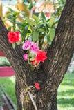在大树的红色和桃红色兰花 免版税库存照片