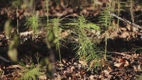 在大树附近被找到的小生长森林植物 股票视频
