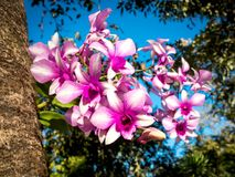 在大树02的泰国兰花花 免版税库存照片