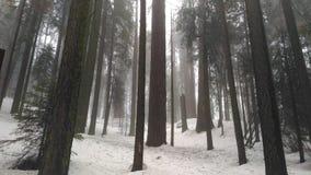 在大森林的美国加州红杉 图库摄影