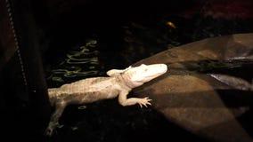 在大水族馆的白色鳄鱼 影视素材