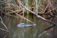 在大沼泽地国家公园的一条鳄鱼在佛罗里达 库存照片