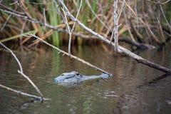在大沼泽地国家公园的一条鳄鱼在佛罗里达 免版税库存照片