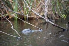 在大沼泽地国家公园的一条鳄鱼在佛罗里达 库存图片
