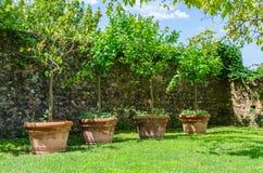 在大泥罐的四棵小树在有一块老石头的一个庭院里 免版税库存图片
