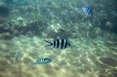 在大海的军士鱼 在海滨的热带鱼Dascillus 珊瑚鱼水下的照片 免版税库存照片