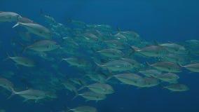 在大海的大眼鲷Trevallies 免版税库存图片