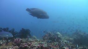 在大海的大鱼濑鱼寻找食物 股票视频