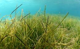 在大海的流动水下的海草 库存图片