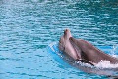 在大海的海豚对 免版税库存照片