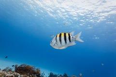 在大海的热带军士长鱼游泳与珊瑚礁在背景中 免版税库存图片