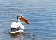 在大海的白色鹈鹕游泳 免版税图库摄影