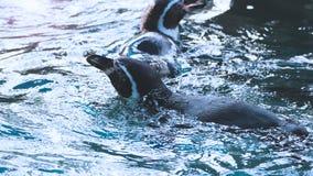 在大海颜色的企鹅游泳 免版税图库摄影