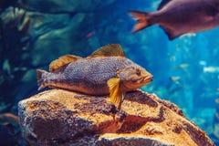 在大海,五颜六色的水下的世界的一条红色黄色大鱼 免版税库存照片