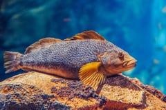 在大海,五颜六色的水下的世界的一条红色黄色大鱼 库存照片
