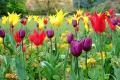 在大炮小山公园的五颜六色的郁金香 库存图片