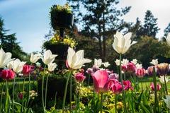 在大炮小山公园,伯明翰的美丽的郁金香 库存图片