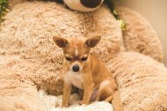 在大玩具熊的奇瓦瓦狗小狗,看下来 免版税库存图片