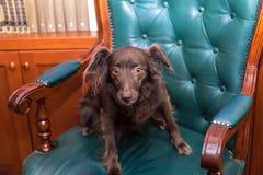 在大皮革扶手椅子的逗人喜爱的矮小的红色狗 免版税库存照片