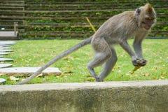 在大石头的猴子立场准备跳跃,巴厘岛印度尼西亚 免版税图库摄影