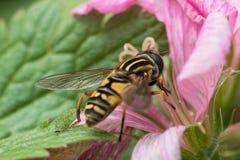 在大竺葵花的Hoverfly 免版税库存照片
