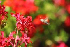 在大竺葵附近的莫罗sphynx或蜂鸟蝴蝶 免版税库存照片