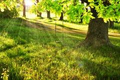 在大绿色树的摇摆 太阳通过树分支发出光线在明亮的夏日 在结构树的摇摆 愉快的童年场面  库存照片