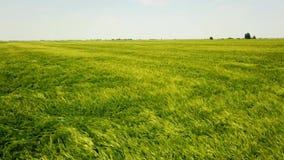 在大绿色麦田的空中射击 域绿色横向麦子 股票视频