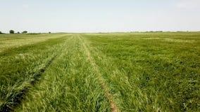 在大绿色麦田的空中射击 域绿色横向麦子 股票录像