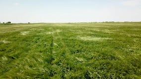 在大绿色麦田的空中射击 域绿色横向麦子 影视素材
