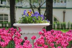 在大罐的生动的罗斯郁金香蝴蝶花附近 免版税图库摄影