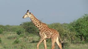 在大草原徒步旅行队的长颈鹿在肯尼亚