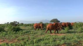 在大草原徒步旅行队的长颈鹿在肯尼亚 影视素材