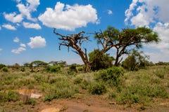 在大草原灌木的非洲金合欢树 免版税库存图片