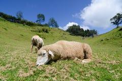 在大草原的一只绵羊 免版税图库摄影