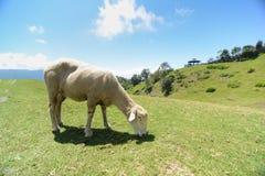 在大草原的一只绵羊 库存照片