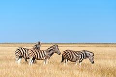 在大草原的三匹斑马 图库摄影