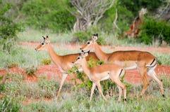 在大草原的三只飞羚 图库摄影